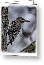 Male - Northern Flicker Greeting Card
