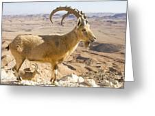 Male Nubian Ibex Capra Ibex Nubiana Greeting Card