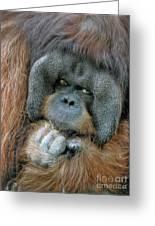 Male Orangutan  Greeting Card