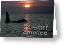 Male Orca At Sunset Off San Juan Island Washington 1986 Greeting Card