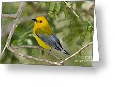 Male Prothonotary Warbler Greeting Card