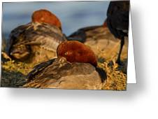 Male Readhead Duck Greeting Card
