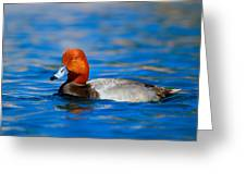 Male Red Head Duck Greeting Card