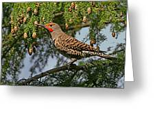 Male Red-shafted Northern Flicker Greeting Card