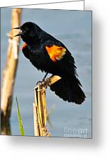Male Red-winged Blackbird Greeting Card