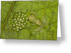 Male Reticulated Glass Frog  Guarding Greeting Card