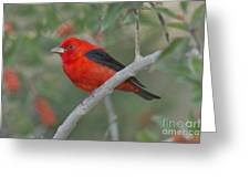 Male Scarlet Tanager Greeting Card