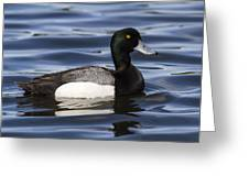 Male Scaup Greeting Card
