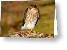 Male Sparrowhawk Greeting Card