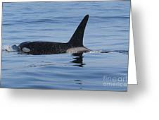 Male Transient Orca In Monterey Bay 11-10-13 Greeting Card