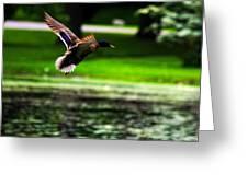 Mallard   Taking Flight Greeting Card