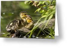 Mallard Babies Greeting Card