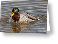 Mallard Drake Bathing Greeting Card