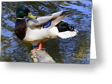 Mallard Drake Greeting Card