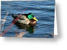 Mallard Drake Passing  Greeting Card