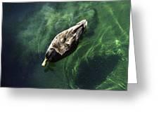 Mallard Duck On Green Pool Greeting Card