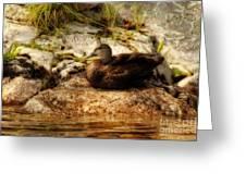 Mallard Duck Onaping Greeting Card
