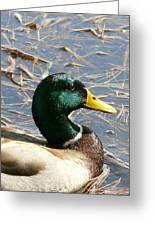 Mallard Duck Portrait Greeting Card