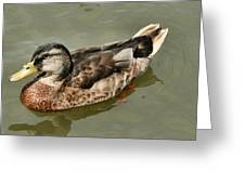 Mallard Duck Series #1 Greeting Card