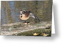 Mallard Duck Stretch  Greeting Card