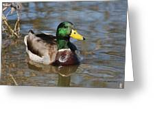Mallard Duck Watches Greeting Card