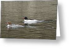 Mallard Ducks   #8479 Greeting Card