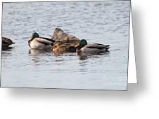 Mallard Ducks Sleeping Greeting Card