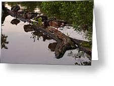 Mallard Ducks Sleeping On A Log Greeting Card
