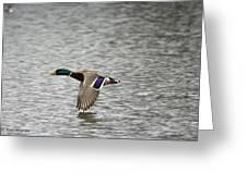 Mallard In Flight Greeting Card
