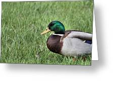 Mallard In The Grass Greeting Card