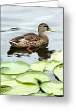 Mallard Lilly Pad Greeting Card