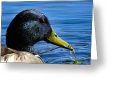 Mallard Macro Greeting Card