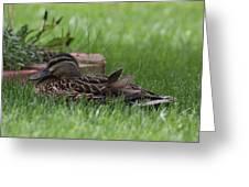 Mallard Nesting Greeting Card