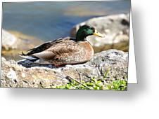 Mallard On Rock Greeting Card