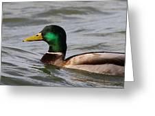 Mallard On The Lake Greeting Card