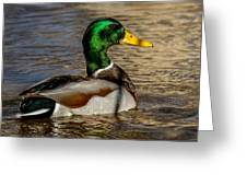 Mallard Square Format Greeting Card