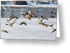 Mallards In Flight Greeting Card