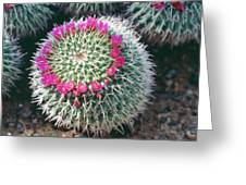 Mammillaria Vagaspina. Greeting Card