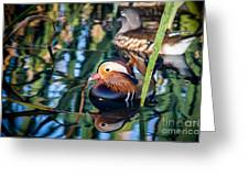 Mandarin Duck Reflections Greeting Card