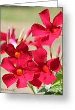 Mandevilla Named Sun Parasol Crimson Greeting Card