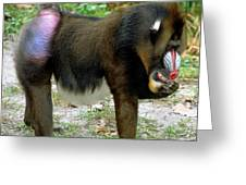 Mandrill Mandrillus Sphinx Eating Fruit Greeting Card
