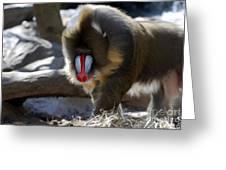 Mandrill Monkey Greeting Card