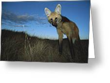 Maned Wolf Hunting At Dusk Brazil Greeting Card
