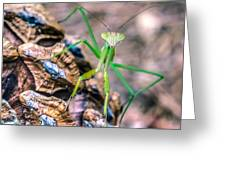 Mantis On A Pine Cone Greeting Card