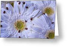 Many Ladybugs On White Daisy Greeting Card by Garry Gay
