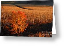Maple And Cornfield At Dawn Greeting Card