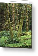 Maple Glade Quinault Rain Forest Greeting Card