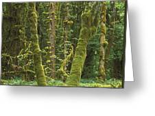 Maple Glade Quinault Rainforest Greeting Card