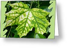 Maple Leaf In The Laurel Greeting Card