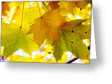 Maple Leaves In Autumn Glory Greeting Card